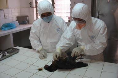 Preguntas que usted se puede hacer sobre la gripe aviar