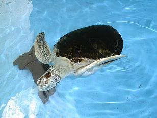 La tortuga encontrada en Motril será liberada mañana en el mar