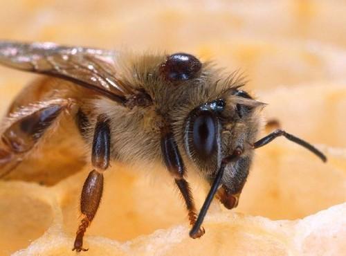 """La apicultura  de la costa de Granada y del resto de la comunidad autónoma en peligro por el parásito """"Varroa"""""""