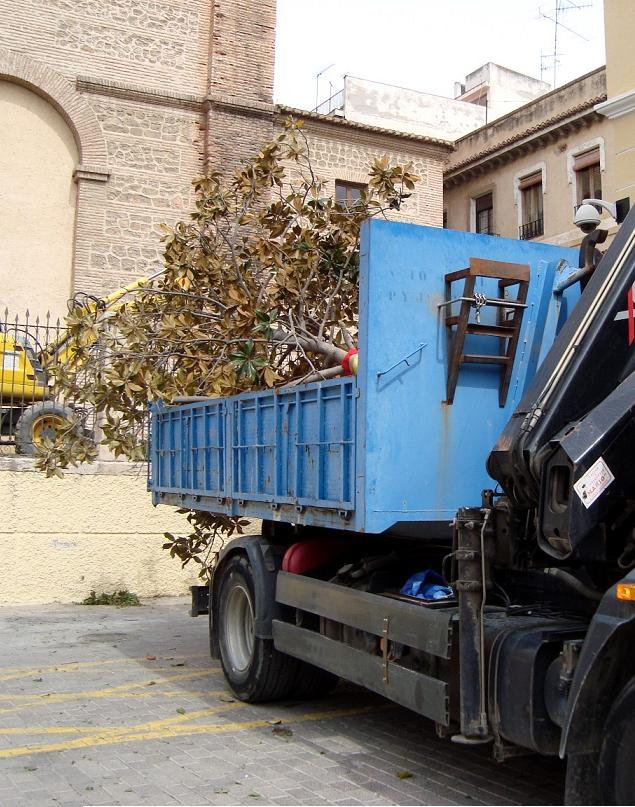 Parques y Jardines traslada el magnolio de la Iglesia de la Encarnación a la calle Capitán Luque de Aviación