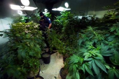 Tres años de prisión por tener en su invernadero de Molvízar plantas de cannabis