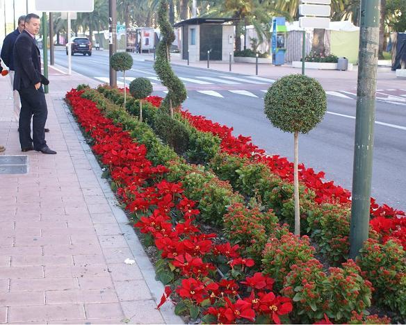 Motril se pone guapa por Navidad con 7.000 pascueros en flor