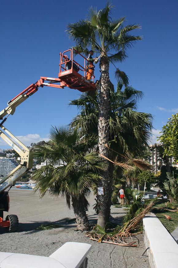 La semana próxima finalizará la limpieza y poda de palmeras del municipio sexitano