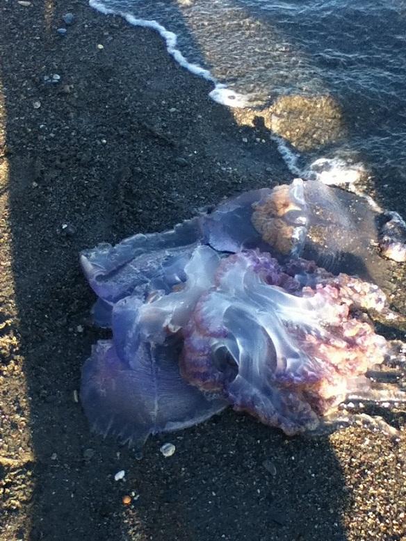 Una medusa de grandes proporciones es capturada en la playa de Poniente de Motril