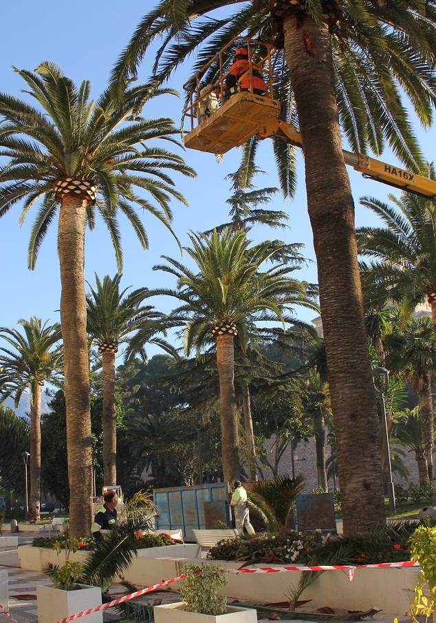 El Ayuntamiento de Motril trabaja en la poda de las 300 palmeras del centro urbano