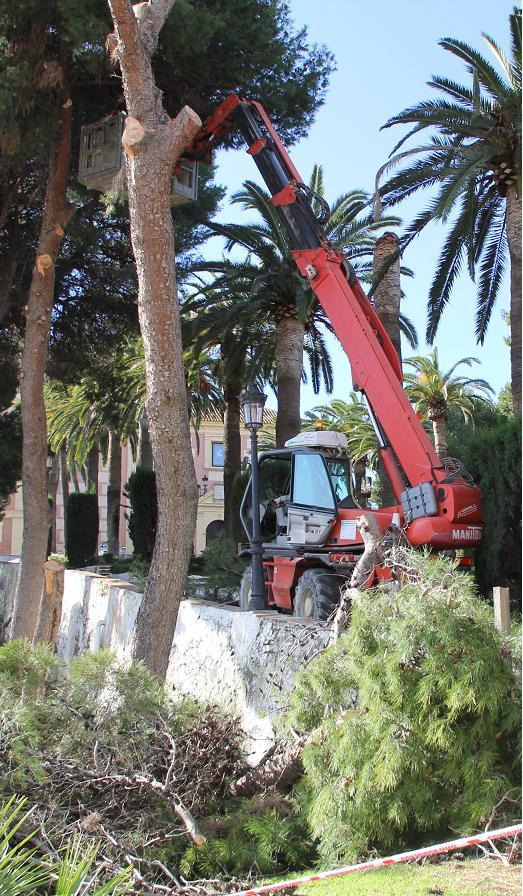 El servicio de Mantenimiento retira un pino del Cerro que cayó anoche a consecuencia del temporal