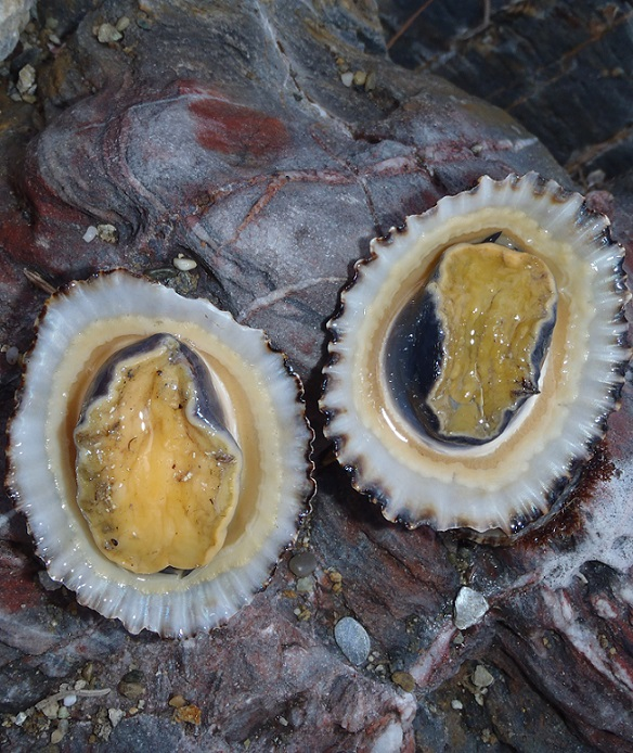La Junta decomisa ejemplares de lapa ferruginea a un mariscador que faenaba ilegalmente en los Acantilados de Maro-Cerro Gordo