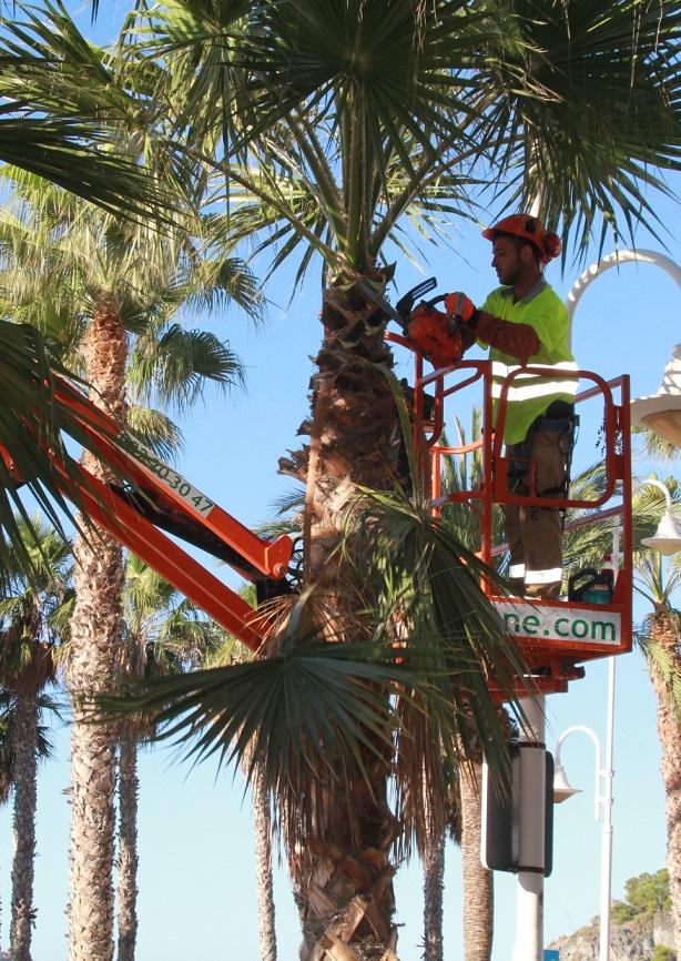 Continúan los trabajos de limpieza de palmeras en Almuñécar