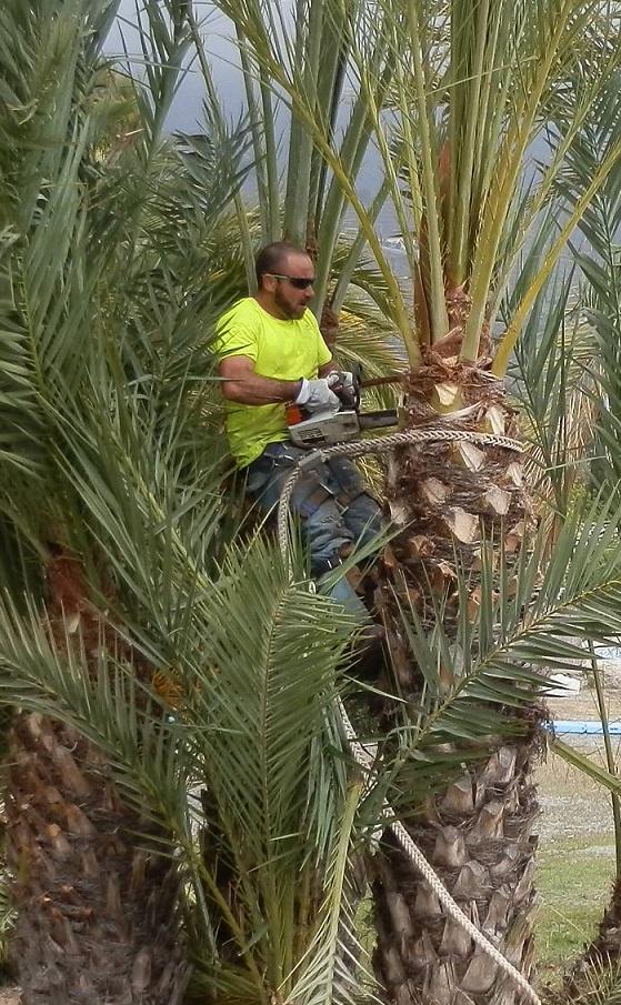 Los trabajos de limpieza de palmeras en Almuñécar y La Herradura llegan a su fase final