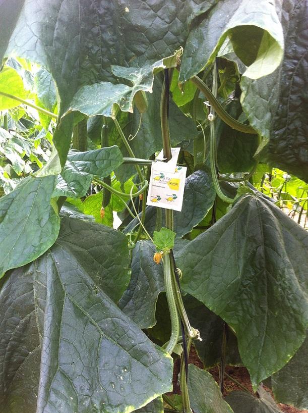 Swirski-Mite LD se convierte en la herramienta de referencia  para el control biológico en pepino de invierno