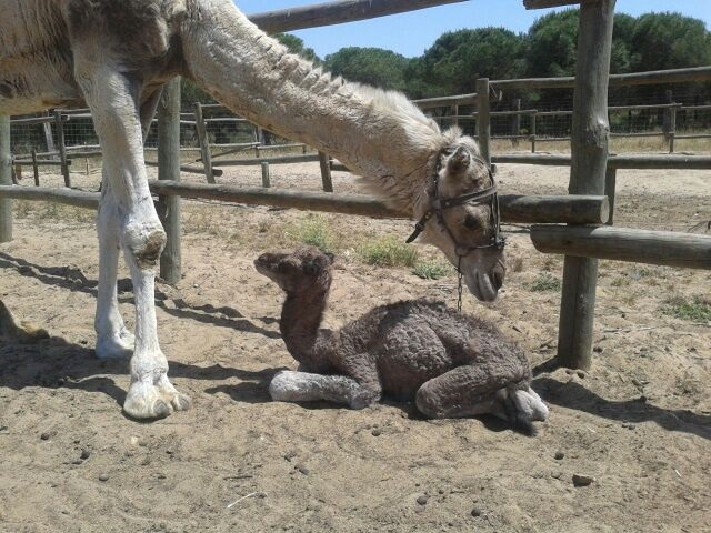 Nace un nuevo dromedario en el Parque Dunar Doñana. Se llamará Gitana