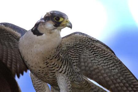 Hoy se reintroduce el halcón peregrino en la Charca de Suárez de Motril