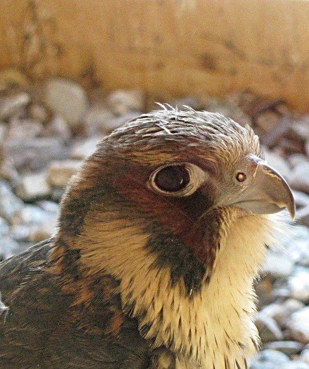 Concluye con éxito la liberación del halcón criado por la Asociación Buxus en Motril