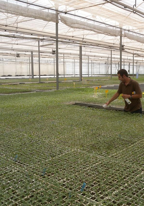 """Koppert asegura la cantidad adecuada de """"Nesi"""" en planta desde la suelta en semillero hasta la finca"""
