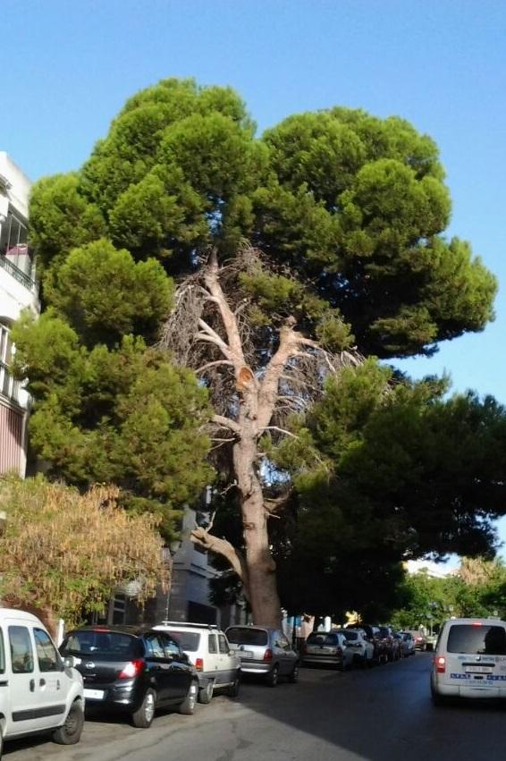 El Grupo Municipal Andalucista de Motril advierte de la falta de mantenimiento del pino existente en la calle Rafael Alberti