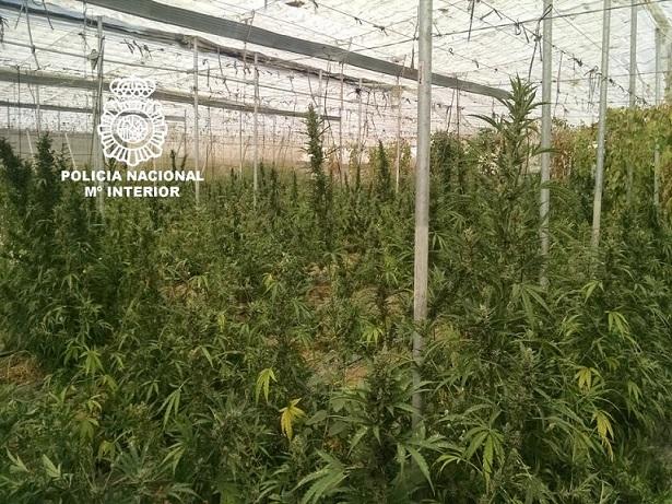 Tenían un invernadero de Cannabis en Salobreña con medio millar de plantas