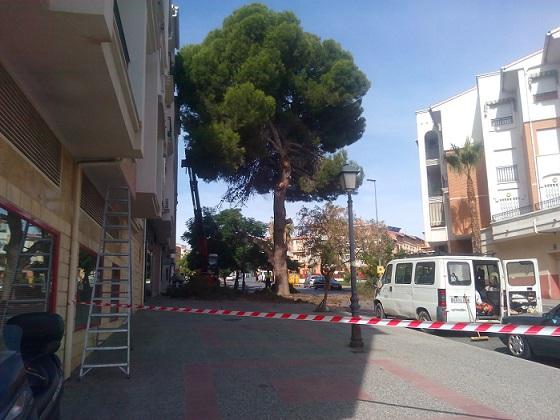 El Partido Andalucista de Motril agradece públicamente la limpieza del pino existente en la Calle Rafael Alberti