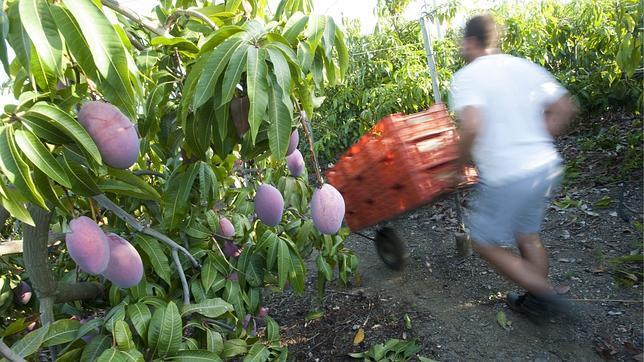 La producción de mango alcanzará los 50 millones de kilos en la costa de Granada y Málaga