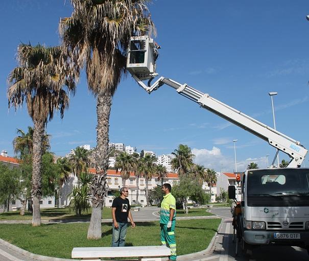 Medio Ambiente intensifica la poda de palmeras en Salobreña
