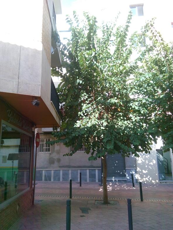 El PA Motril vuelve a advertir de la falta de mantenimiento de numerosos árboles de nuestra ciudad