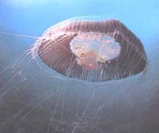 La plaga de medusas produce en la costa de Granada más de 1.400 asistencias por picaduras durante el fin de semana. Las picaduras han supuesto hasta un 10 por ciento de las urgencias en el Distrito Sanitario de la comarca